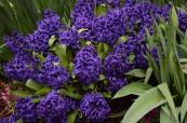 Hyacinths at The Arboretum