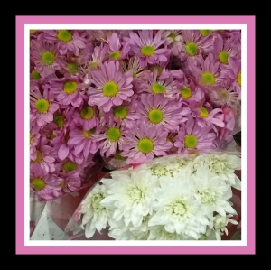 Purple and White Chrysanthemums