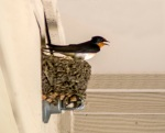 Barn Swallow (and nest built on a fire sprinkler head next door to us).