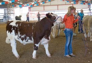 Fine examples of cattle on show!