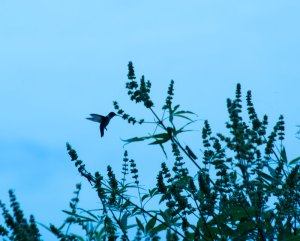 A Hummingbird (and grasshopper)
