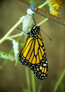 A newly emerged Monarch Butterfly