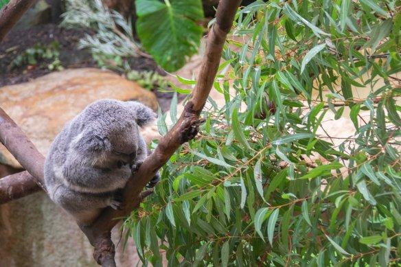 2018_June1_BBR_koala
