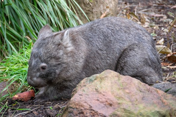 2018_June1_BBR_wombat