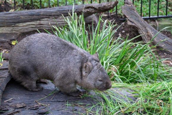 BB_wombat_Clyde